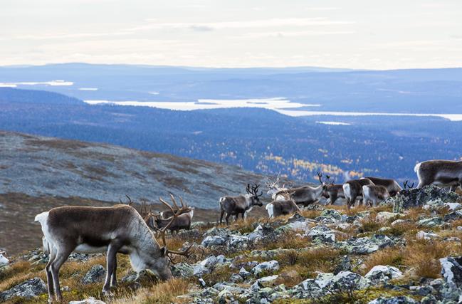 Renos en Laponia