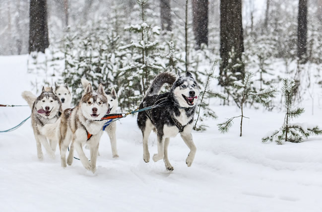 Laponia, huskies