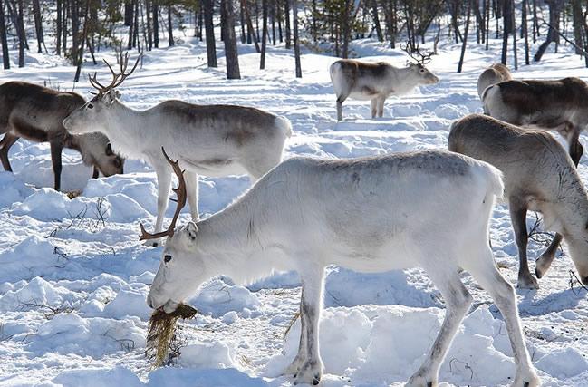 Laponia, renos
