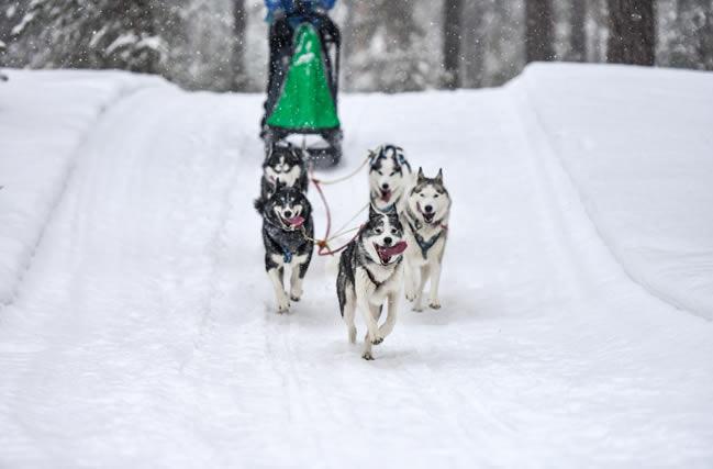 Trineo de perros huskies