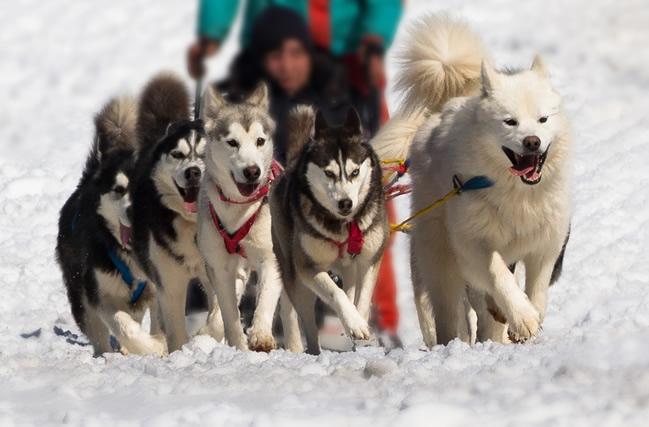 Trineo huskies